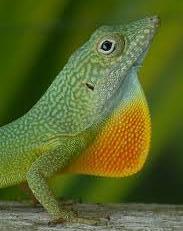 Lizard Throat
