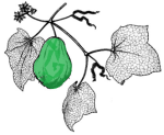 Chayote Drawing Green