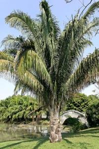 Cohune Palm Tree